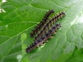 Three caterpillars — Stock Photo