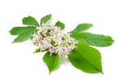 Chestnut flower — Stock Photo