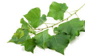 Branch poplar trees with green leaves — Stock Photo