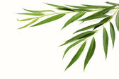 Branches of willow with green leaves — Stock Photo