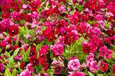 Flores rosa — Fotografia Stock