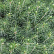 Young fir tree - Stock Photo