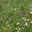 Stock Photo: Summer meadow wildflowers