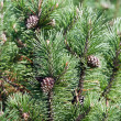 Stock Photo: Fir branch with a cones