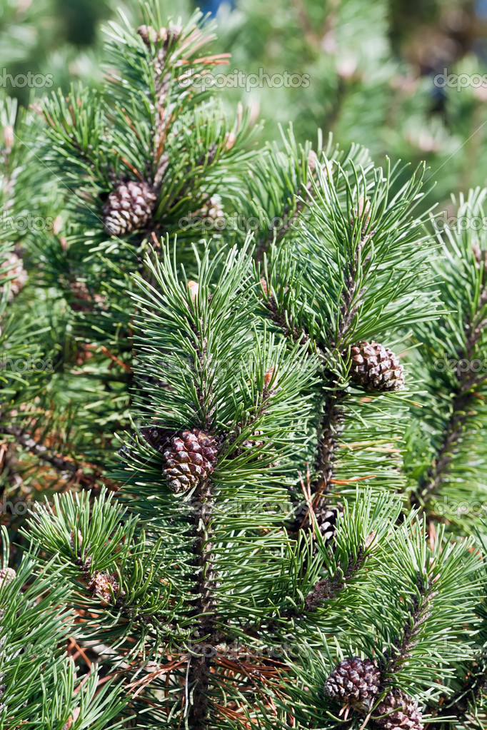New fir branch with a cones  Stock Photo #5482218