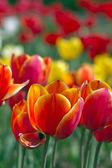 Mooie tulpen — Stockfoto