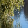 Weeping Willow near the river — Stock Photo
