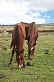 Horses on Easter Island — Stock Photo