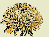 Big bud chrysanthemum — Stock Vector