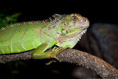 Iguana on a dark background image at home — Stock Photo