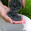 Stock Photo: Gathering blueberries