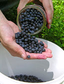 Gathering blueberries — Stock Photo
