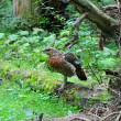 Young Capercaillie (Tetrao urogallus) — Stock Photo #5387282