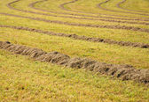 Meadow with hay — Stock Photo