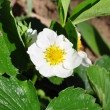 Foto Stock: Strawberry flower (Fragaria)
