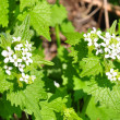 Stock Photo: Garlic mustard (Alliaripetiolata)