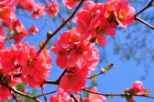 Chinese quince flowers (Chaenomeles speciosa) — Stock Photo