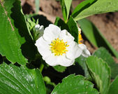 Strawberry flower (Fragaria) — Stok fotoğraf