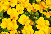 Yellow pansies — Stock Photo
