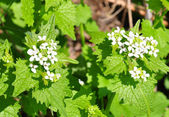 Garlic mustard (Alliaria petiolata) — Stock Photo