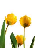 Tulipani gialli — Foto Stock