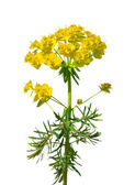Cypress spurge (Euphorbia cyparissias) — Stock Photo