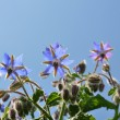 Borage (Borago officinalis) — Stock Photo #6056629