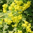Stock Photo: Lady's mantle (Alchemilla)