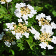 Guelder rose (Viburnum opulus) — Stock Photo