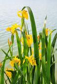 Yellow iris (Iris pseudacorus) — Stock Photo