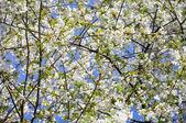 Cherry flowers (Prunus avium) — Stock Photo