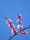 Peach flower (Prunus persica) — Stockfoto