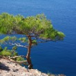 Ukraine. Crimea. The Black Sea. Pine tree next to the sea — Stock Photo