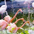 Greater pink flamingo - Stock Photo