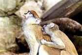Famille au zoo de riga de singes macaques — Photo