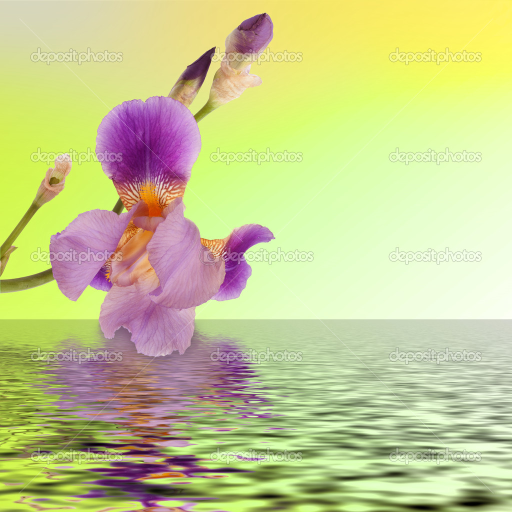 Beautiful flower iris reflection in the water — Stock Photo #5691190