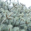 Blue Fir Tree — Stock Photo