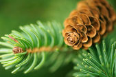 Pine Cone And Branches — Stock Photo