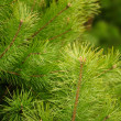 Young Green Pine Branches — Stock Photo #5451054