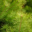 Stock Photo: Young Green Pine Branches