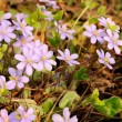 Hepatica Nobilis (Liverleaf) Flowers — Stock Photo
