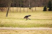 Crow About to Land — Stock Photo