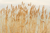 Bulrush — Stock Photo