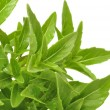 Green Piccolo Basil — Stock Photo