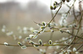 Willow Catkins — Stock Photo