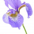 Beautiful Purple Iris — Stock Photo #5856956