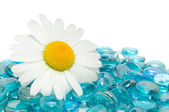 Daisy on Blue Glass Stones — Stock Photo
