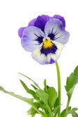 Pansy violeta com folhas verdes — Foto Stock