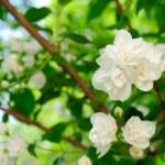 Beautiful White Jasmine Flowers — Stock Photo