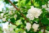 Beautiful White Jasmine Flowers — Stock Photo